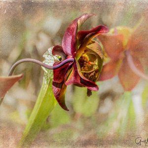 Pitcher Blossom