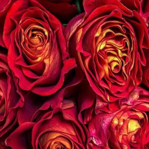 Rosebud Details