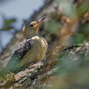 Woodpecker Youngster Take 2