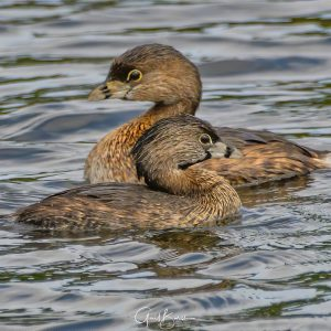 Grebe's in Passing