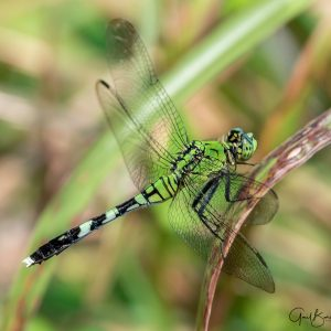 Club-Tail Dragonfly