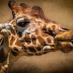 Giraffe Gestures