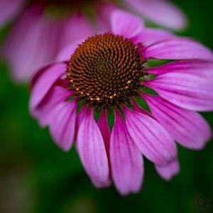 Cornflower Beauty