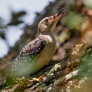 Woodpecker Youngster