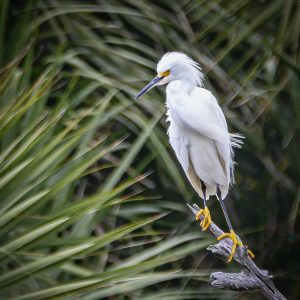Egret on a Branch