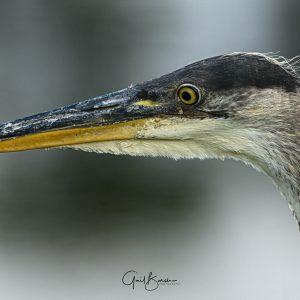 Heron Beak