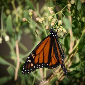 Feeding Monarch