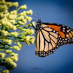 Monarch Spleandor