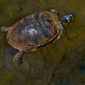 Floating Turtle