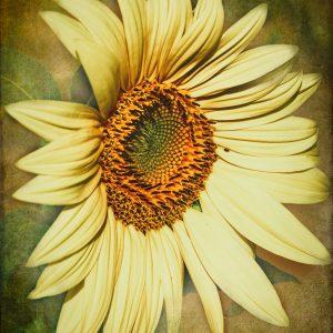 Regal Sunflower